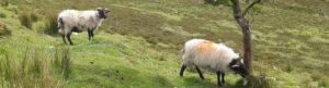 Sheep on Bricklieve mountain