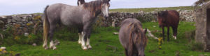 Horses Resting Beside Stone Wall on Heritage on Horseback Trail