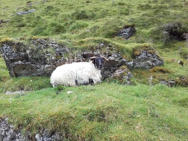 Sheep on Benbulben Trail