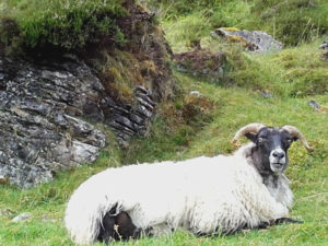 Sheep with rock behind