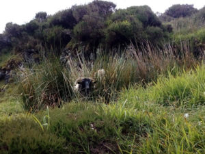 Sheep peering through reeds