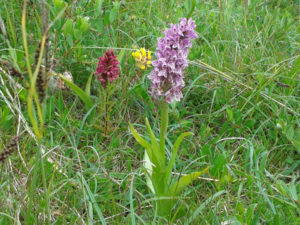 Pyramidal orchids purple, yellow and burgundy