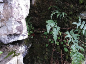 Irish fern growing in Limestone Rocks