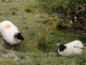 two sheep on mountain trail