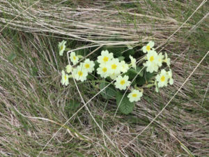 Primroses at Streedagh on a Heritage in Schools Programme visit with Seatrails