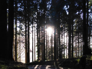 Woodland With Sun Shining Through Trees At Glencar