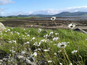 Wild Sea Mayweed growing along the Culleenamore Shore in Summer