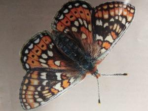 Rare Marsh Fritillary butterfly