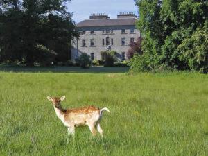 Deer at Coopershill, Sligo