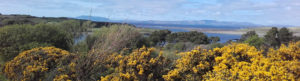 Gorse blooming in the summertime by the sea