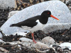 Oystercatcher on the shore amongst rocks and seaweed