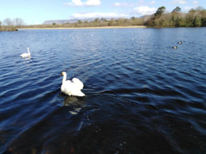 Swan on river Garavogue in Sligo