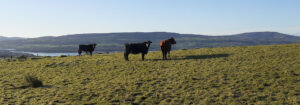 Cows on Moytura Trail