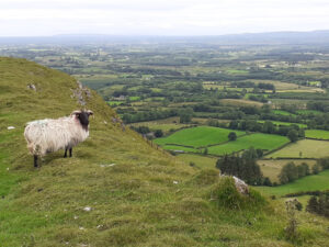 Sheep and view on Knocknashee Trail